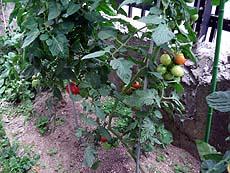 120731_tomato2.jpg(28041 byte)